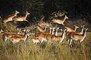 Red Lechwe - Okavango Delta - Botswana