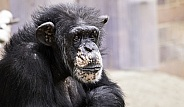 Chimpanzee Head On Arms Sitting