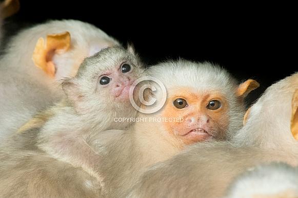 Silver Marmoset Family