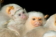 Silver Marmoset Family