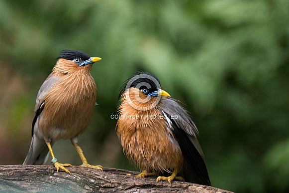 Brahminy starlings