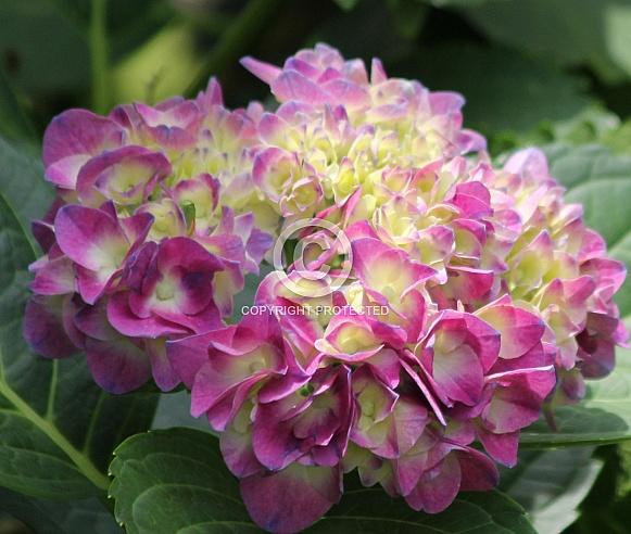 Pink and light yellow hydrangea