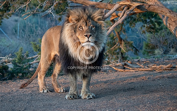 Adult male lion in the early morning light