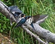 Barn Swallows waiting for food