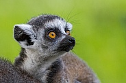 Ring lailed lemur