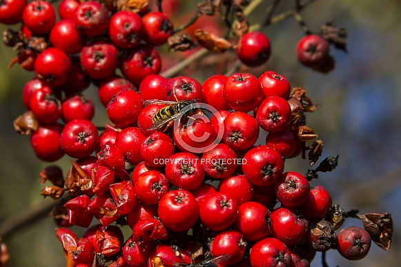 Wasp feeding on red berries