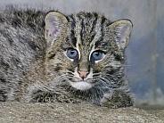 Fishing Cat Cub Kitten