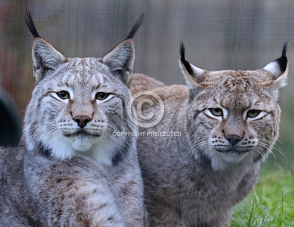Pair Of Lynx