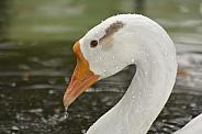 Chinese Swan Goose