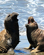Two elephant seals having a heated discussion?