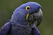 Hyacinth Macaw Face Shot Close Up