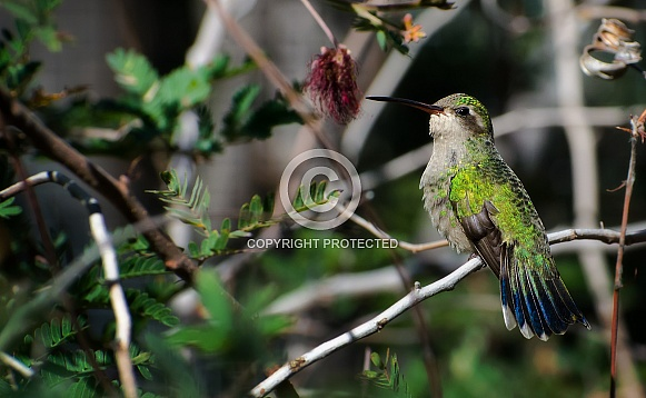 Hummingbird - Coquettish Broad-billed Female