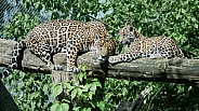 Jaguar and Jaguar cub