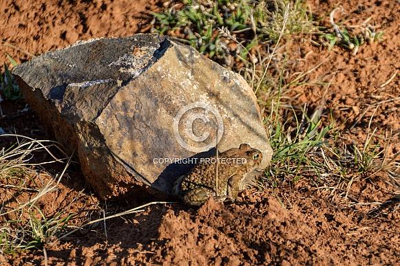 Karoo Toad