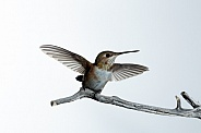 Immature male Rufous hummingbird, Selasphorus rufus