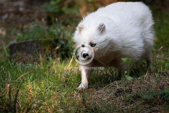 white racoon dog