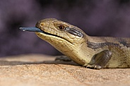 Blue tongue lizard (Juvenile)