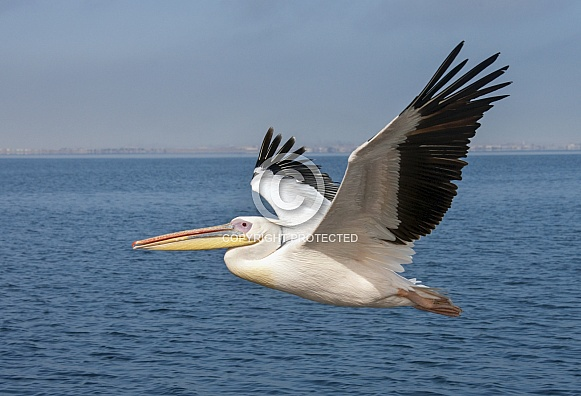 Great White Pelican - Namibia