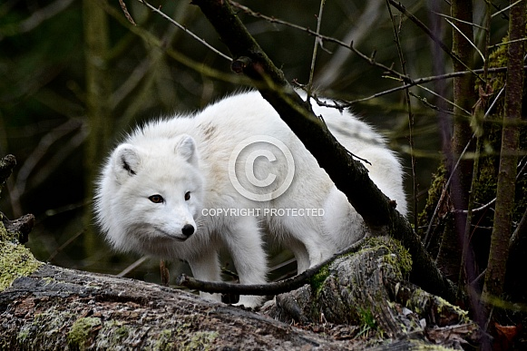 Arctic Fox - winter coat
