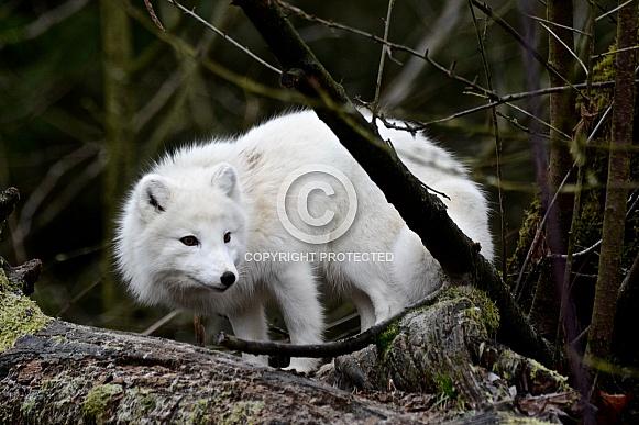 Arctic Fox - winter coat