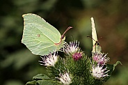 Gonepteryx rhamni