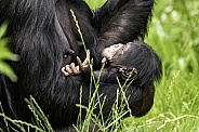 Newborn Chimpanzee Baby In Mothers Arms