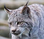 Canadian Lynx close up