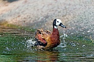 White Faced Whistling Duck.