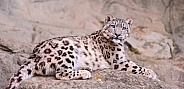 Snow Leopardf