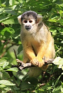 Squirrel Monkey in trees