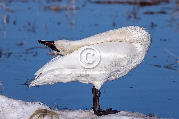 A Trumpeter Swan Yoga Pose