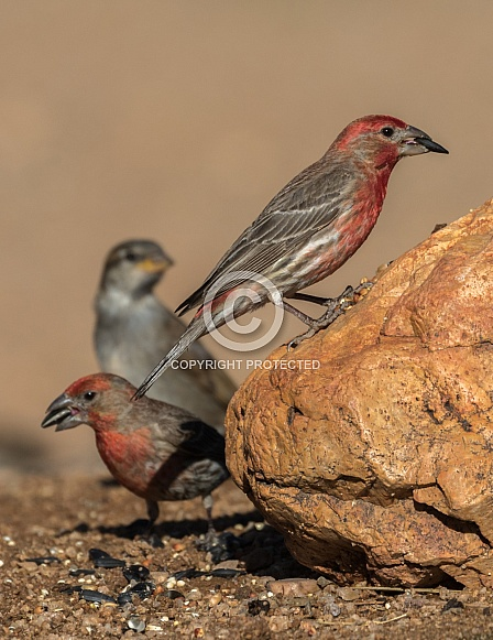 House Finch Group