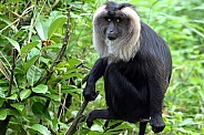 Lion-tailed Macaque/ Wanderoo