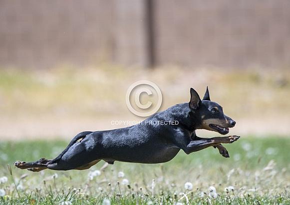 Miniature Pinscher running in the grass after a lure