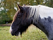 Tinker horse mare