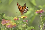 Gulf Fritillary Butterfly (Passion Butterfly)