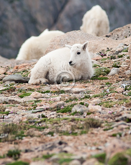 A wild mountain goat kid laying down