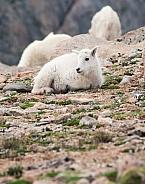 A wild mountain goat kid laying down