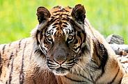 Bengal Tiger Sitting Up Alert