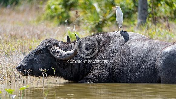 Cape Buffalo and Ibis