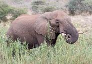 African Elephant, Kruger National Park SA (Wild)