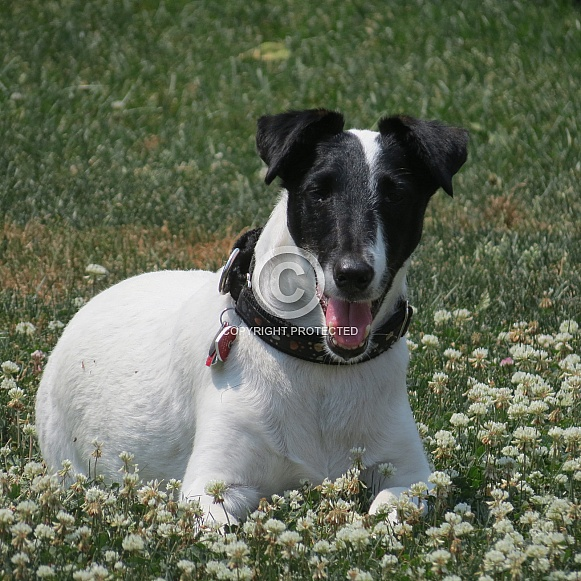 Joey - Smooth Fox Terrier