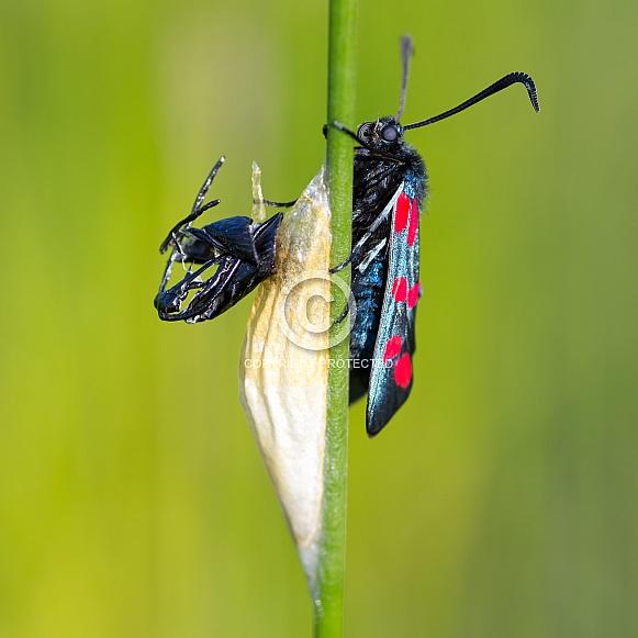 Locust butterfly