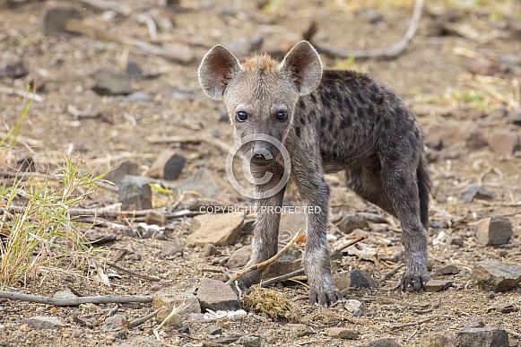 Hyena Cub (wild)