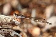 Winter damselfly (Sympecma fusca)