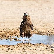Immature Bateleur Eagle