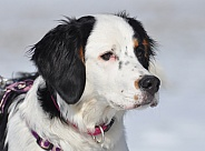 Bernese Mountain Dog Hybrid