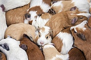 Guinea Pigs - Peru