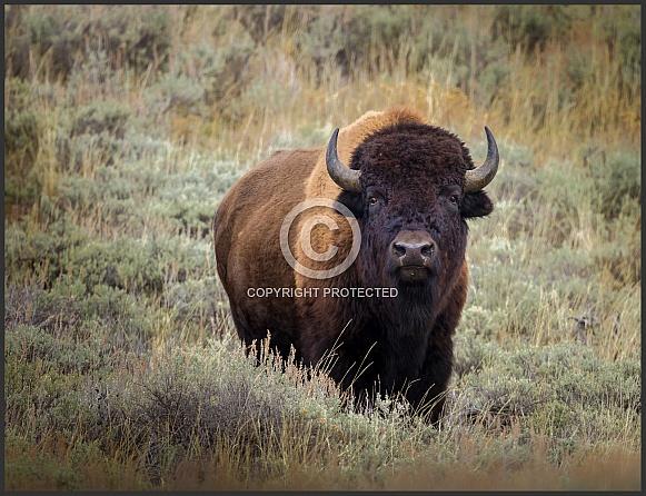 Bison Buffalo in Yellowstone Park