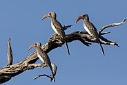 Red-billed Hornbills - Botswana